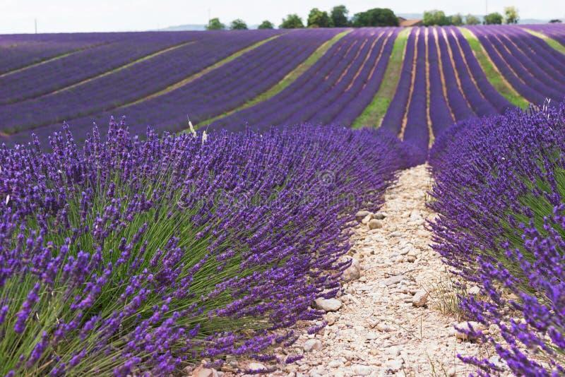 Gisements de lavande Valensole, Provence image libre de droits