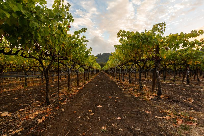 Gisements de raisin de Napa Valley, la Californie, Etats-Unis photo stock