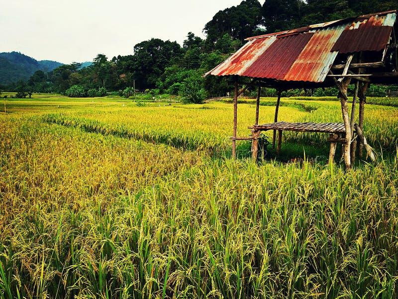 Gisements de riz photos stock