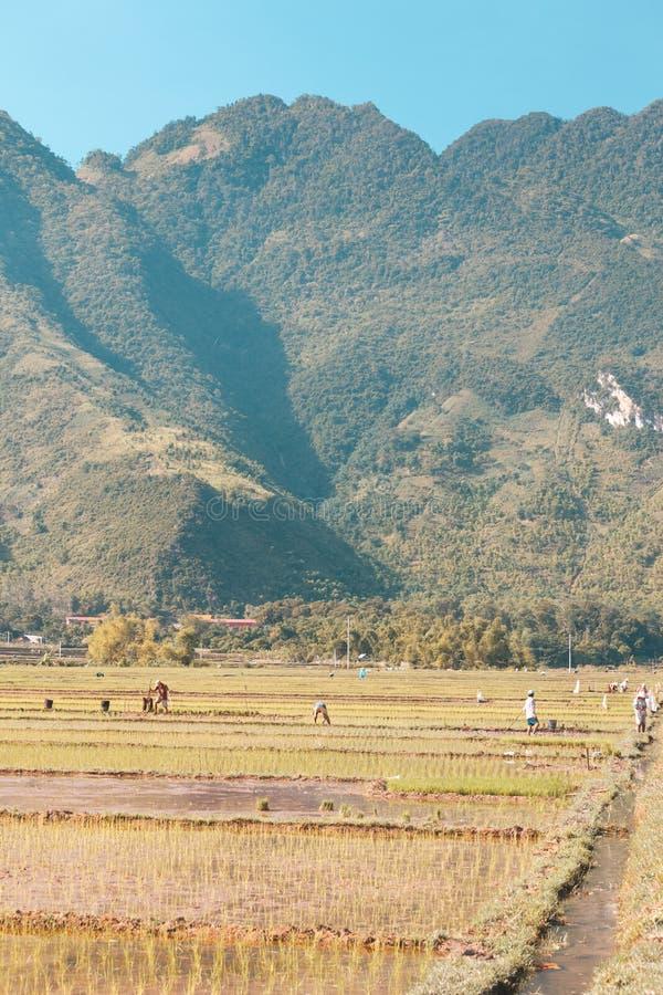 Gisements de riz au Vietnam photographie stock libre de droits