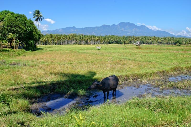 Gisements de riz avec le buffle d'eau image libre de droits