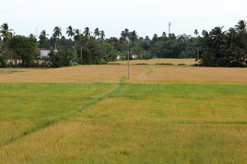 Gisements de riz chez Tissamaharama dans Sri Lanka photo stock
