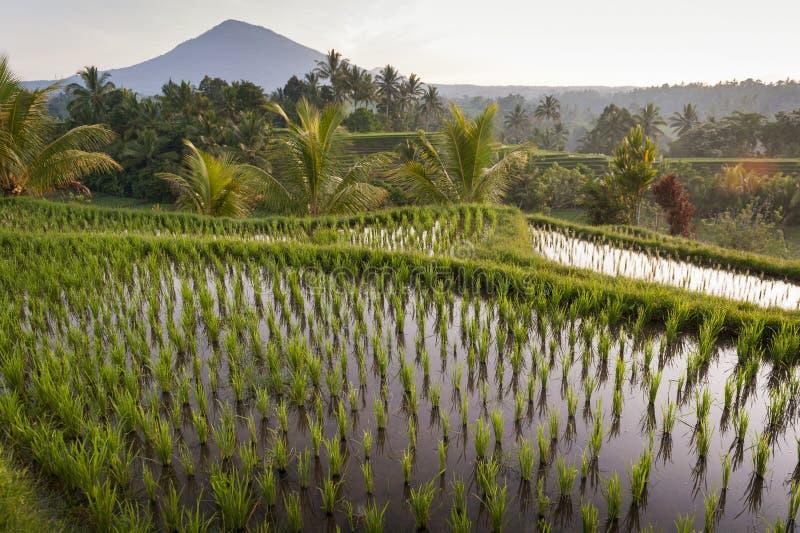 Gisements de riz de Bali photographie stock libre de droits