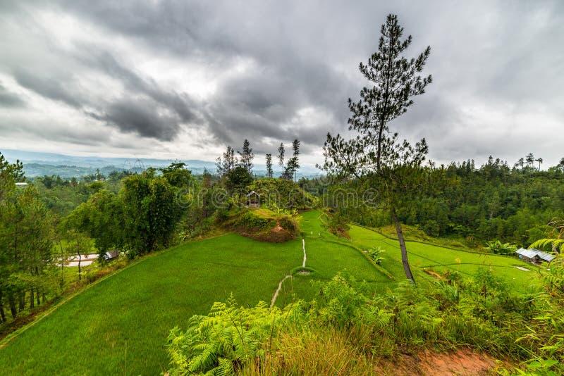 Download Gisements De Riz De Sulawesi Photo stock - Image du herbe, ferme: 45360112