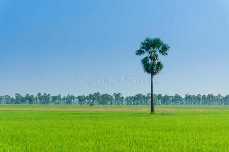 Gisements de riz en Thaïlande images libres de droits