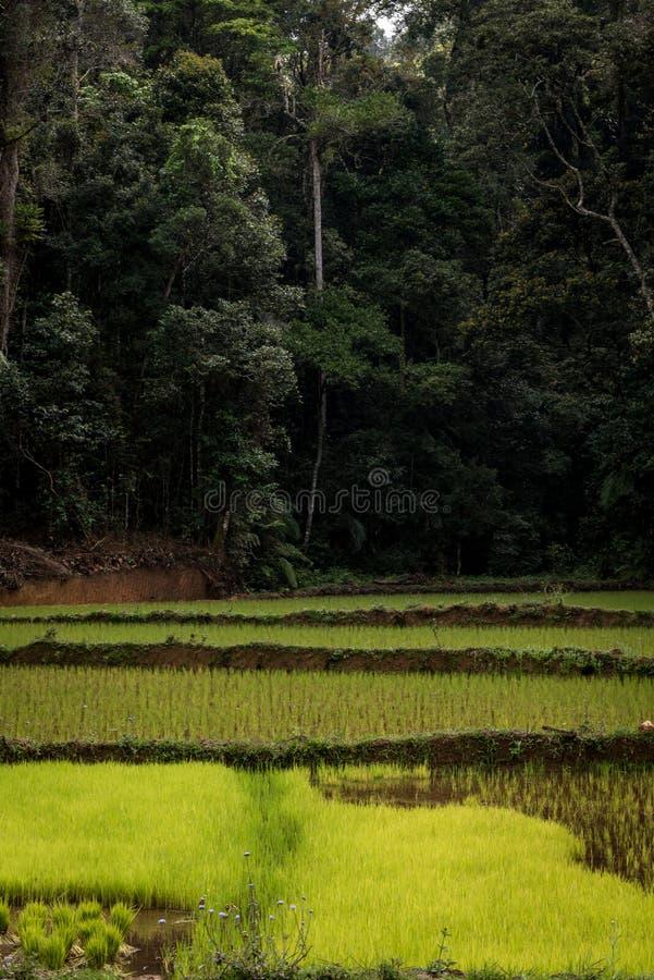 gisements de riz et forêt tropicale, Madagascar photo stock