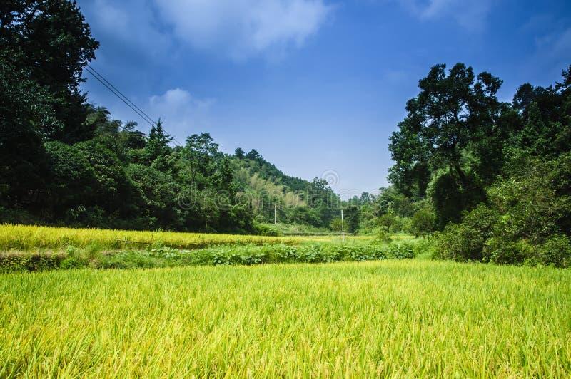 Gisements de riz et paysage de forêt photo libre de droits