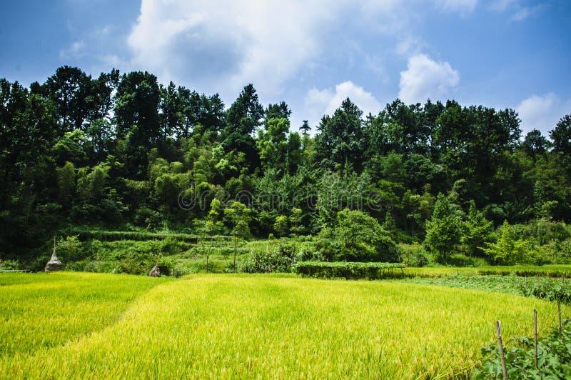 Gisements de riz et paysage de for?t photo libre de droits