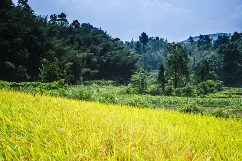 Gisements de riz et paysage de for?t photos libres de droits