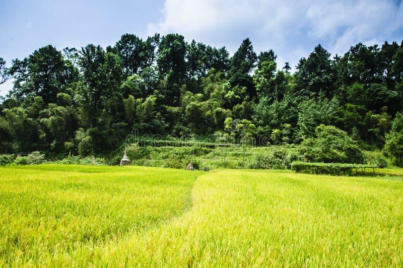 Gisements de riz et paysage de for?t photos stock