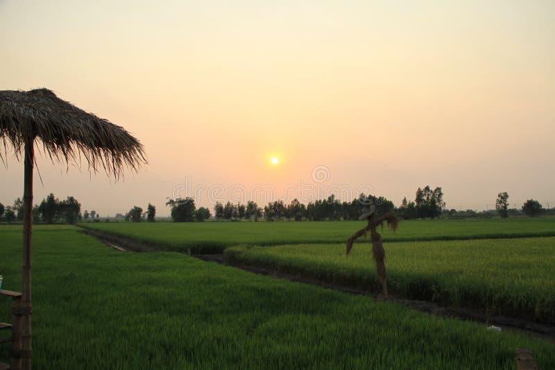 Gisements de riz le soir photographie stock
