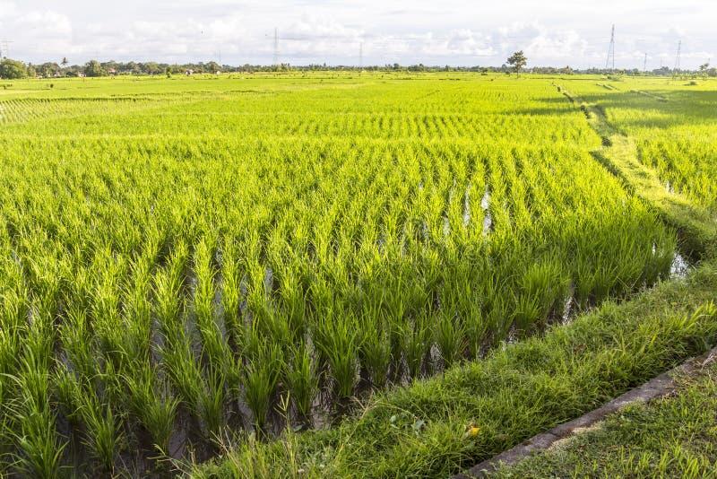 Gisements de riz le soir sur Bali photographie stock