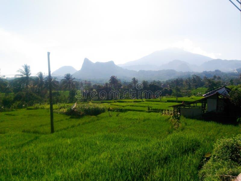 Gisements de riz près du Java occidental de l'Indonésie photographie stock libre de droits