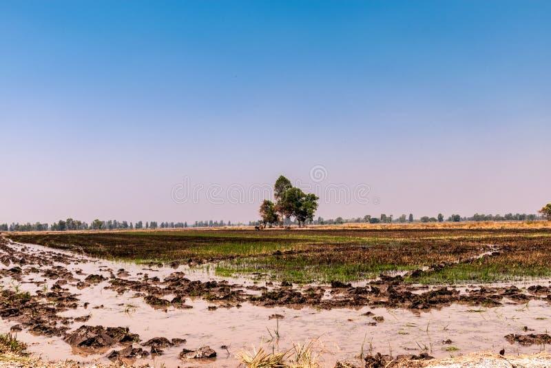 Gisements de riz qui ont été moissonnés et se préparent à la prochaine plantation de riz images libres de droits