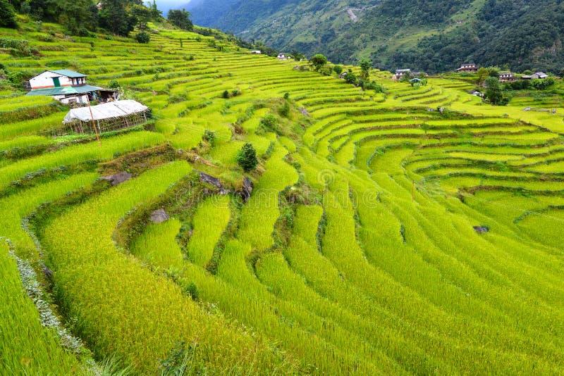 Gisements en terrasse de riz. L'Himalaya, Népal image libre de droits