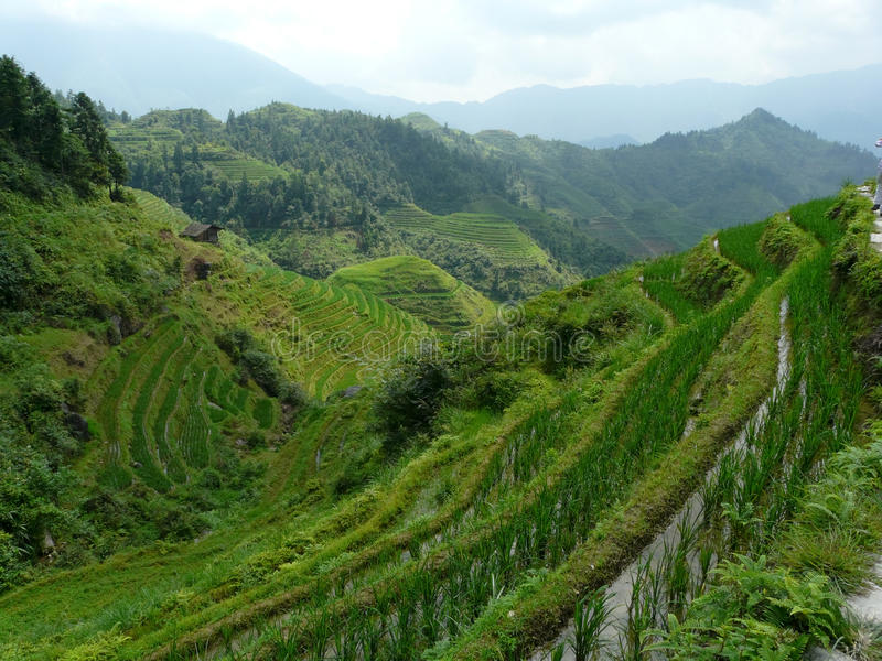 Gisements et bambous de riz image stock