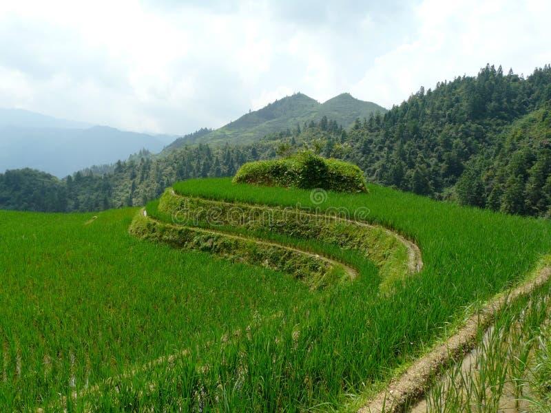 Gisements et bambous de riz photo libre de droits