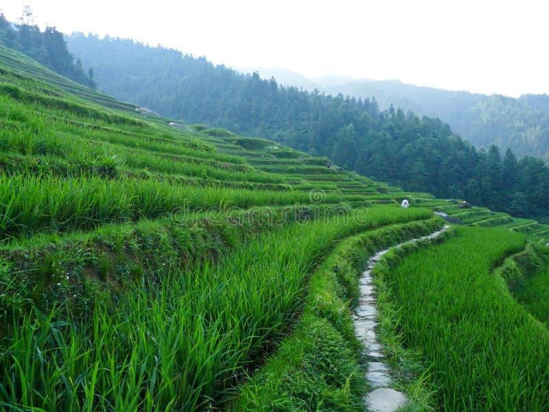 Gisements et bambous de riz image libre de droits