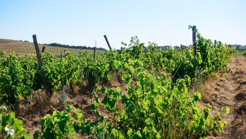 Gisements et flancs de coteau de raisin sur l'horizon image libre de droits