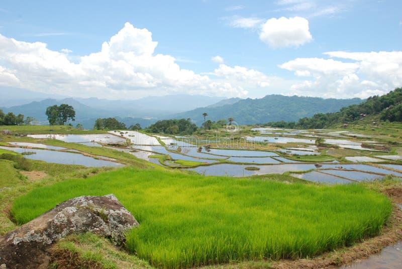 Gisements indonésiens de riz. Sulawesi photographie stock