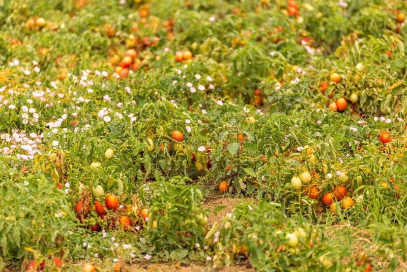 Gisements mûrs de tomate photo stock