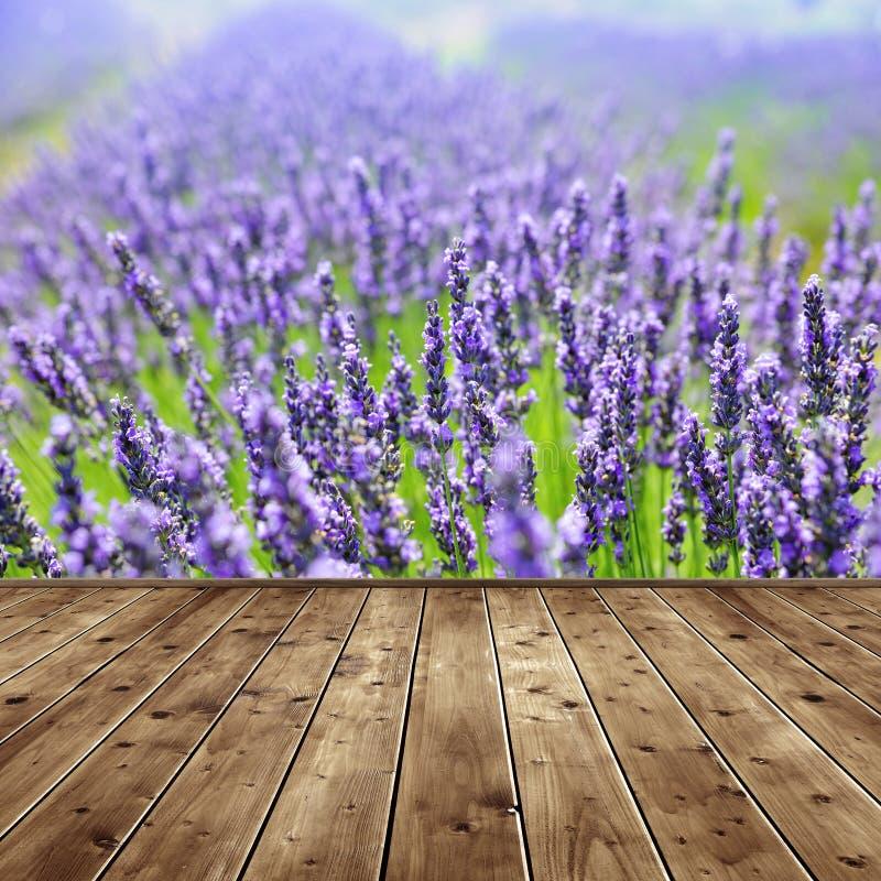 Gisements parfumés de floraison de fleur de lavande image libre de droits