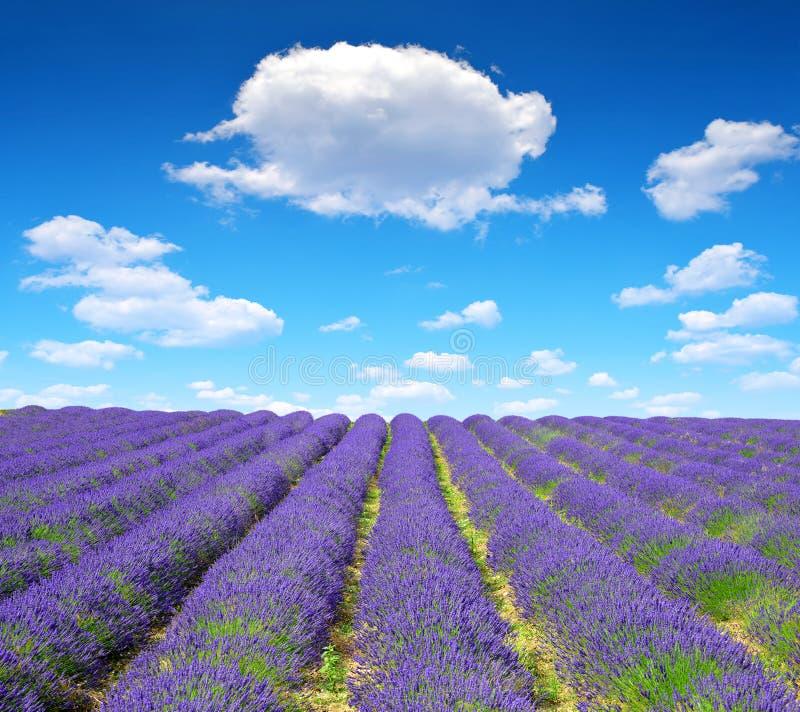 Gisements parfumés de floraison de fleur de lavande photos libres de droits