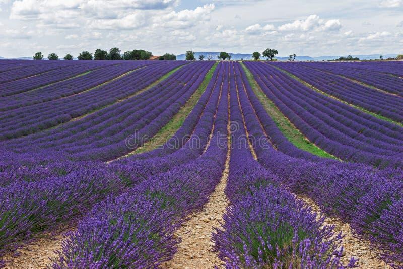 Gisements sans fin de lavande La Provence photo libre de droits