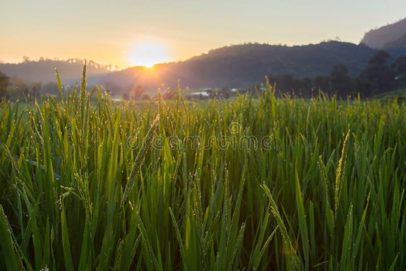 Gisements verts de riz non-décortiqué d'agriculture photo stock