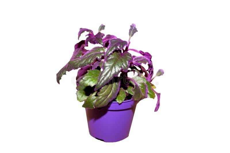 Gitnura de plante intérieure avec des laves violettes gynura scandales photographie stock
