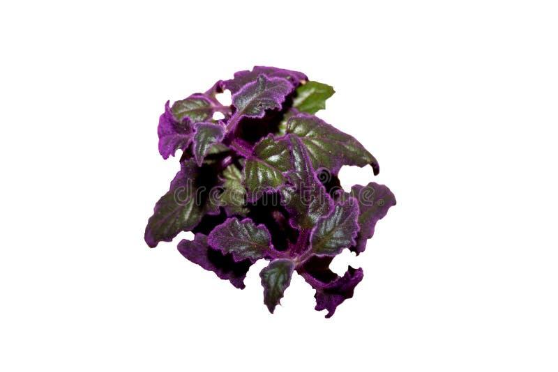 Gitnura de plante intérieure avec des laves violettes gynura scandales image libre de droits