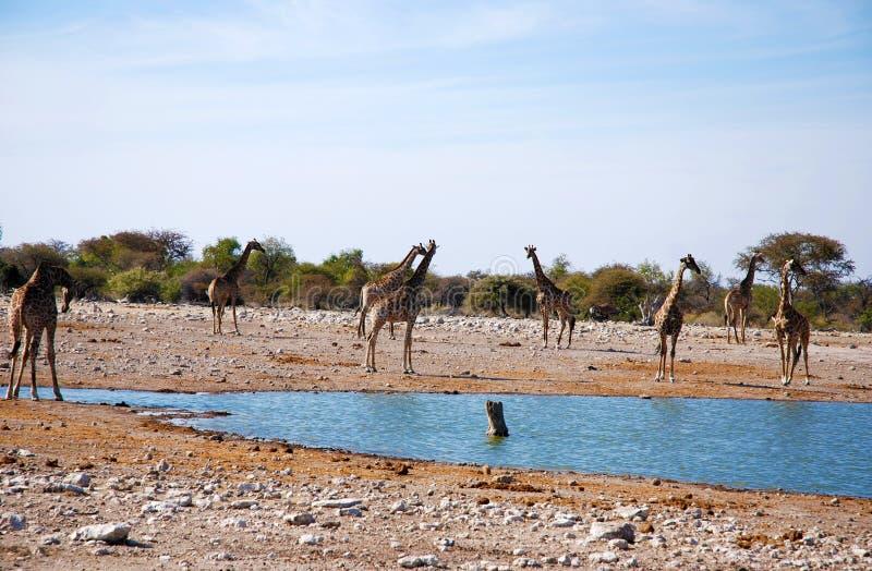 Gitraffes in savanna. Giraffes drinking at a waterhole in african savanna stock image