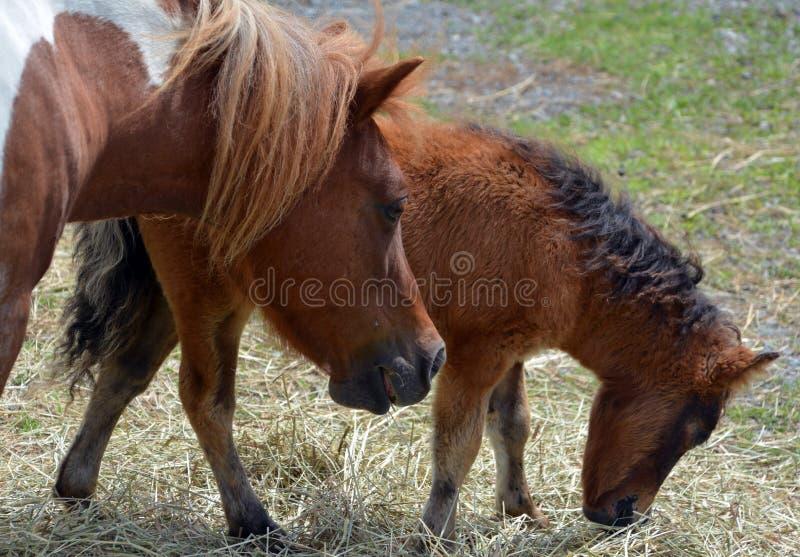 Giumenta e cavalli miniatura fotografie stock libere da diritti