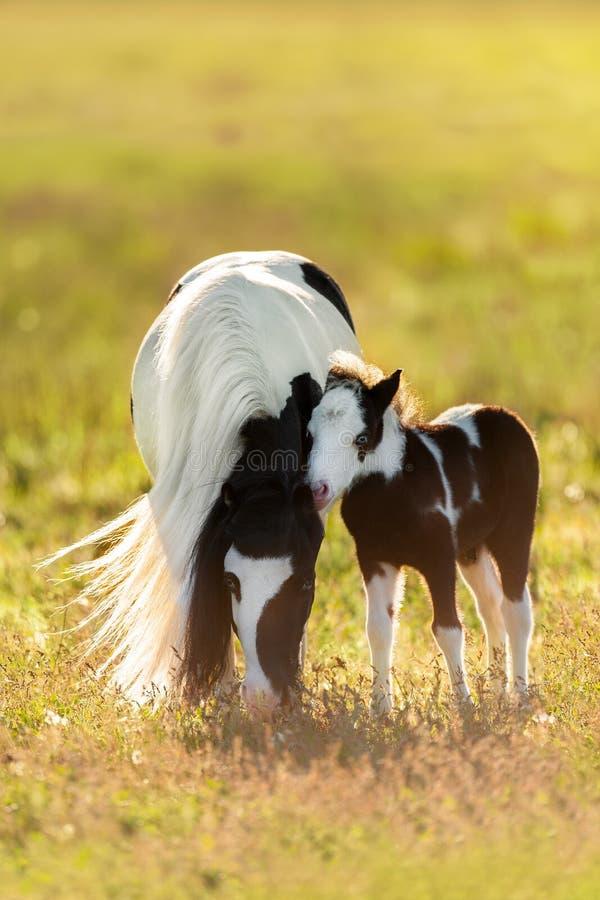 Giumenta screziata del cavallino con il puledro fotografie stock
