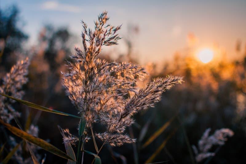 Giunco su un fondo di tramonto fotografia stock