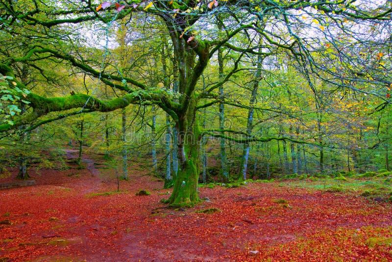 Giungla del faggio di Autumn Selva de Irati in Navarra Pirenei Spagna fotografia stock libera da diritti