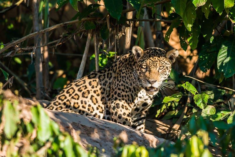 Giungla Madre de Dios Perù di Amazon del peruviano di Jaguar immagini stock libere da diritti