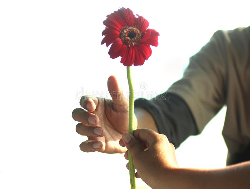 Give and receive in a relationship concept with gerbera daisy flower, a perennial plant. A woman hand holds single red flower head stock images
