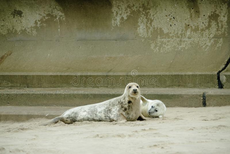 Give us a hug mum. Grey seal pup holding his flipper out to the adult seal as if to hug his mum stock photos