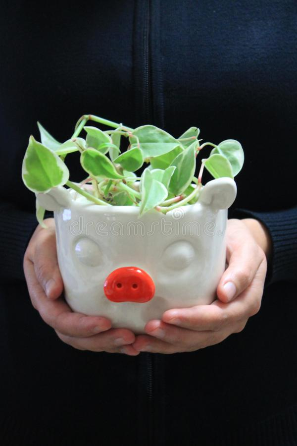 Giving Away Pig-Shaped Ceramic Flower Pot with Plant royalty free stock image