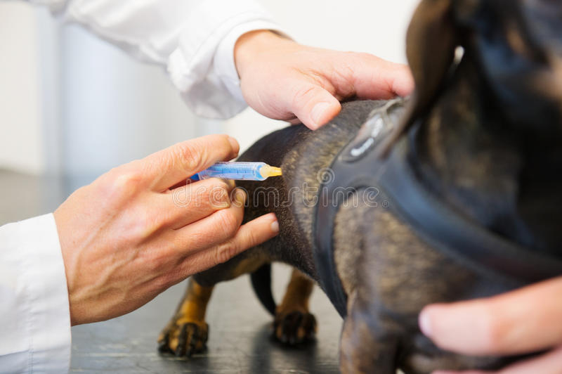 Giving dog a vaccine royalty free stock images