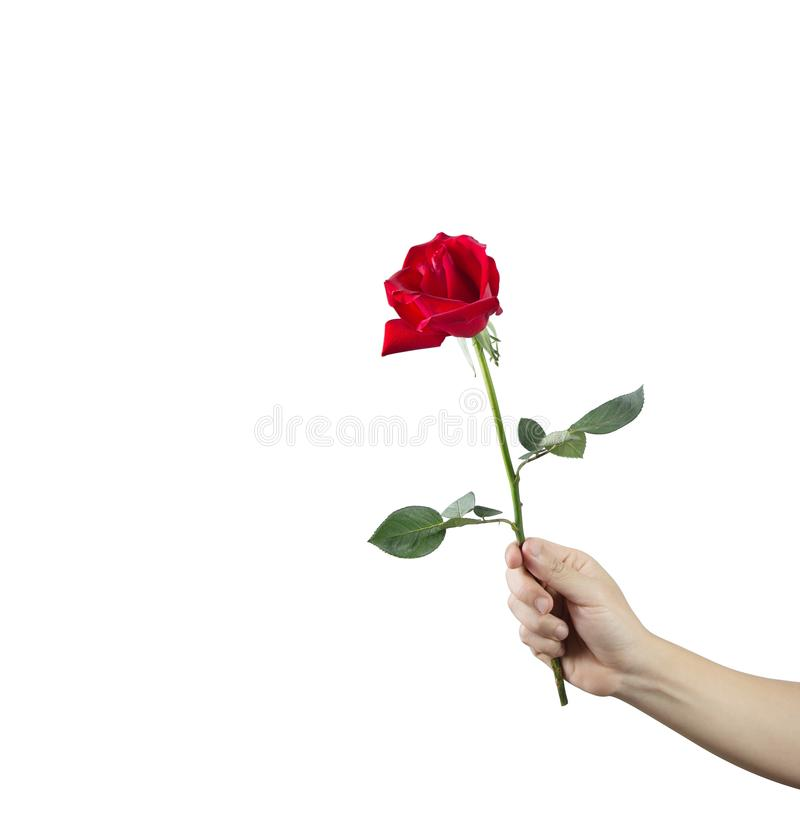 Giving a red rose in hand on a white background. Valentine concept royalty free stock images