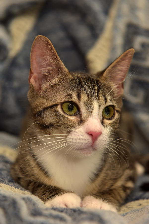 Download Gjort Randig Med Den Vita Shorthairkattungen Fotografering för Bildbyråer - Bild av kissekatt, katt: 76703811