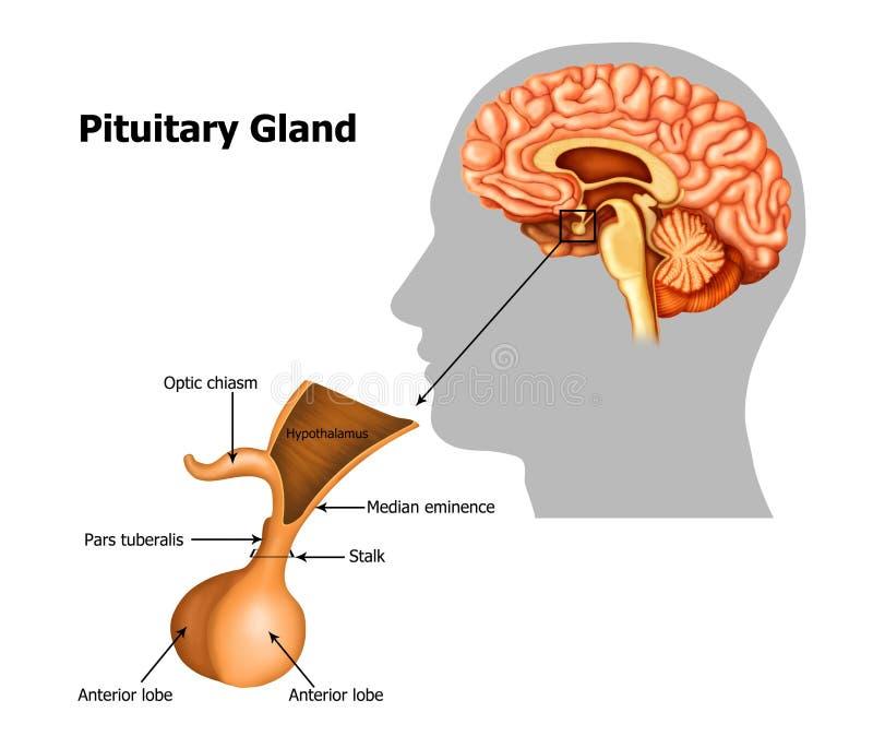 Glándula pituitaria stock de ilustración. Ilustración de nervio ...