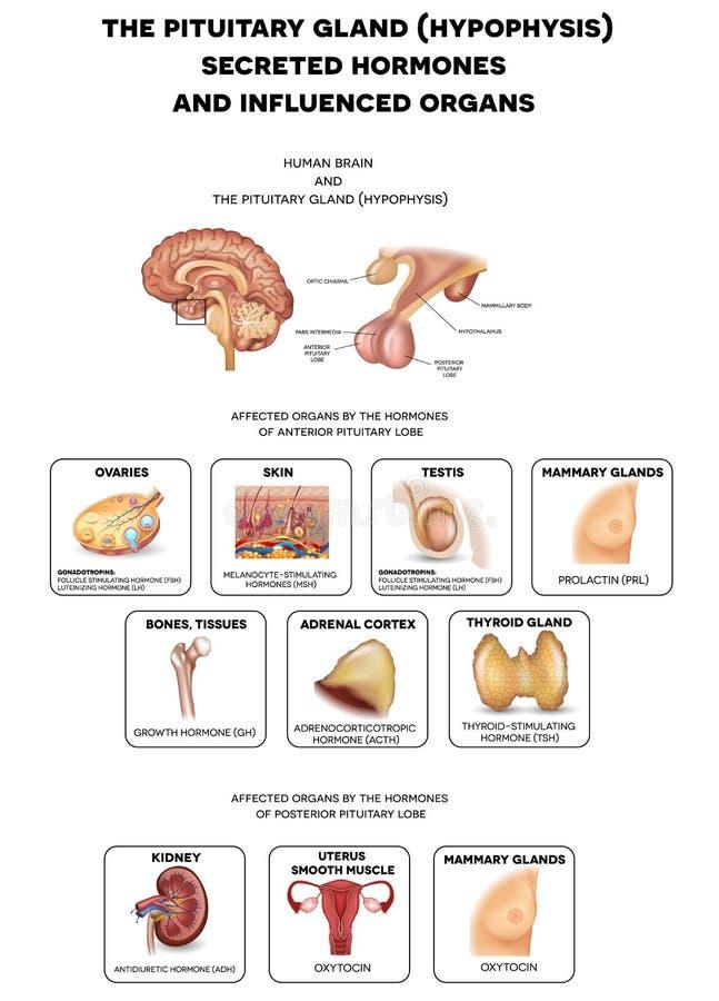 Glándula Pituitaria Y Hormonas Ilustración del Vector - Ilustración ...