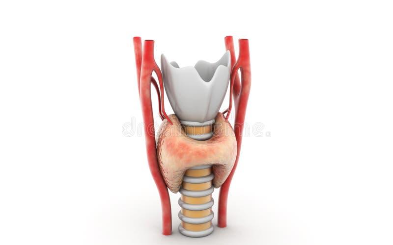 Glándula tiroides libre illustration