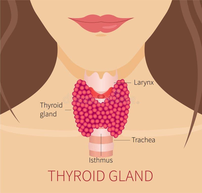 Glándula Tiroides De Una Mujer Stock de ilustración - Ilustración de ...