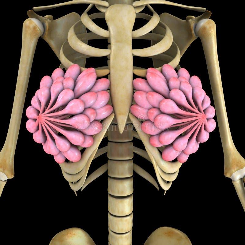 Glándulas del pecho ilustración del vector