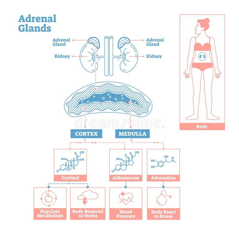 Glándulas suprarrenales del sistema endocrino Diagrama del ejemplo del vector de la ciencia médica stock de ilustración