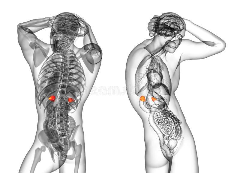 Glándulas Suprarrenales Humanas Stock de ilustración - Ilustración ...